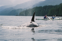 Sea Kayaking and whale watching