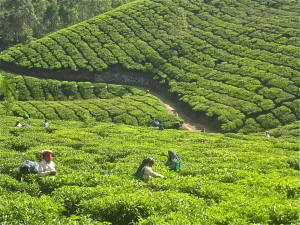 Tea Plantation in Kerala, trips to india